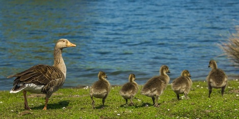 geese-1407208_640