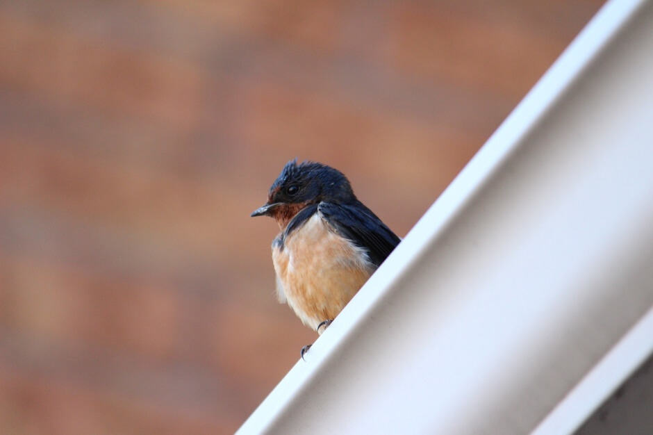 How to Scare Away Barn Swallows   Bird Prevention Tips