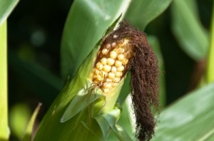 There are many reasons why you should use non-lethal bird repellent on your crops