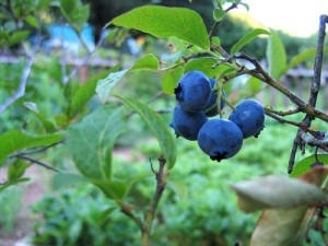 Learn how to protect fruit from birds with Avian Control bird repellent!