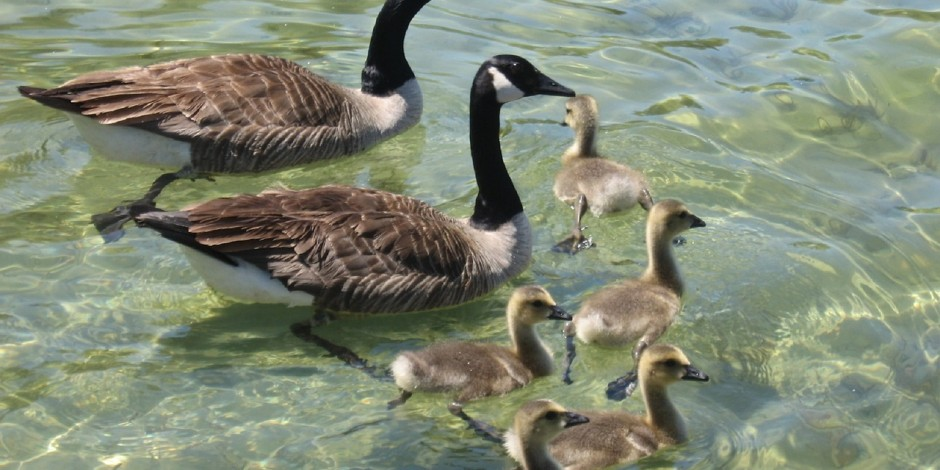 Federal Regulations for Geese