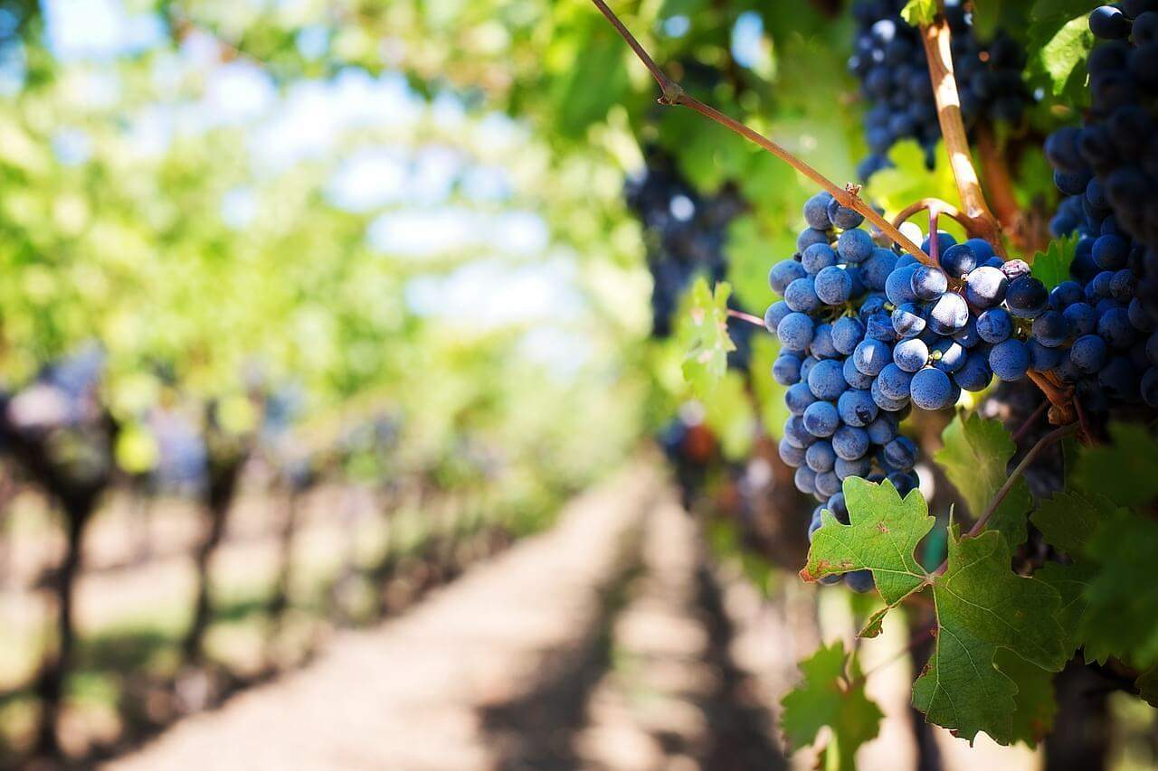 How to Protect California Grapes   Vineyard Bird Protection