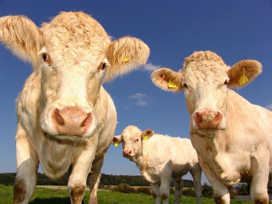 dairycows