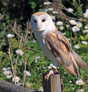 barn-owl-275942_640