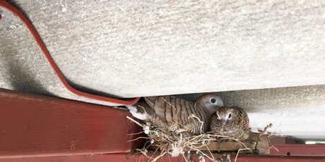 birds in attic