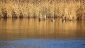 deter nesting geese