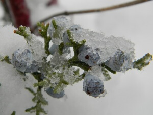 Blueberry Bush Frost Control