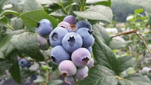 Winter Blueberry Protection