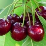 Cherry Tree Bird Control