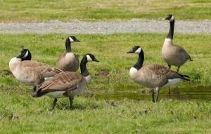 golf course bird prevention