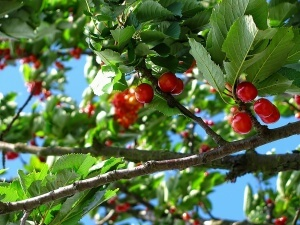 Cherry Picking Season is Here! Keep Birds Away from Trees