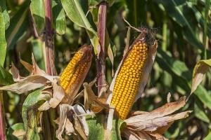 corn bird control