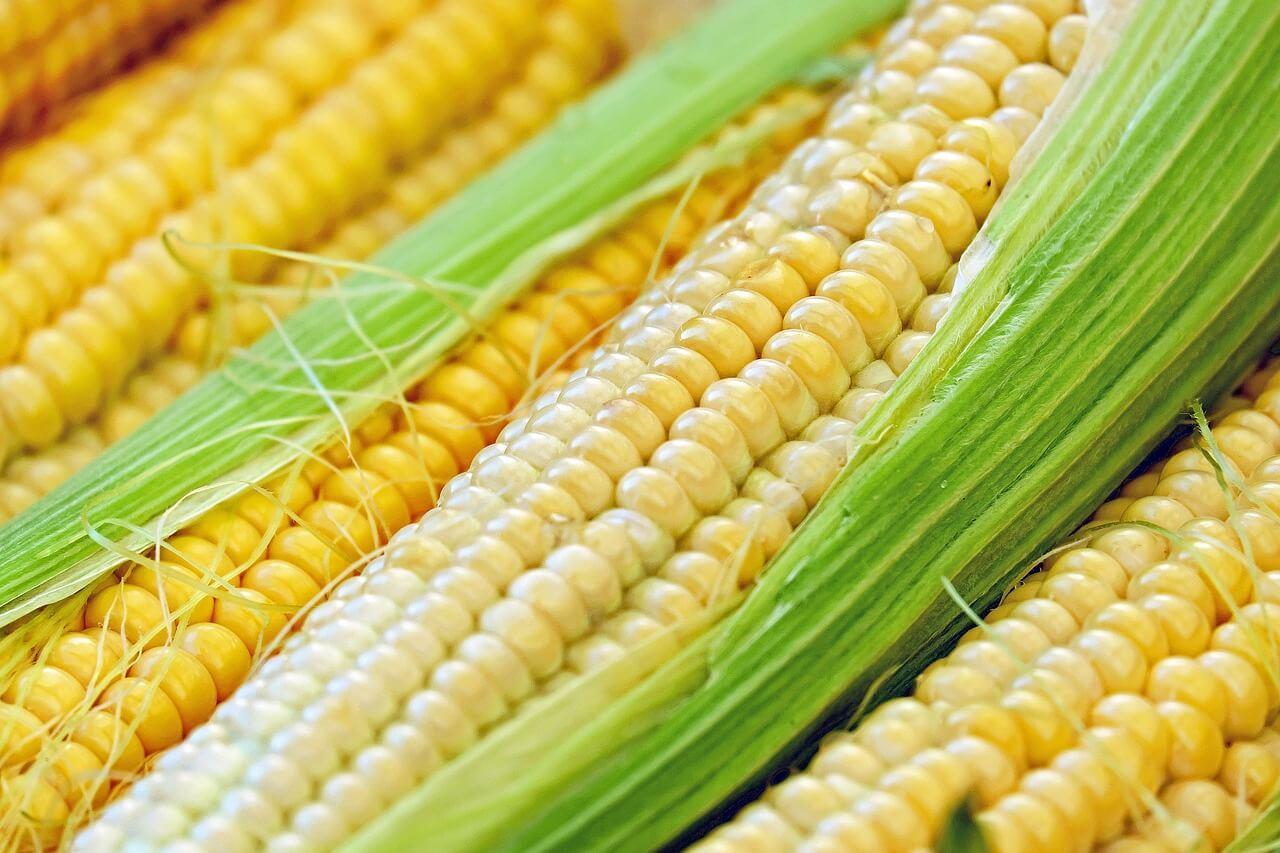 Bird Repellent For Sweet Corn | Avian Control