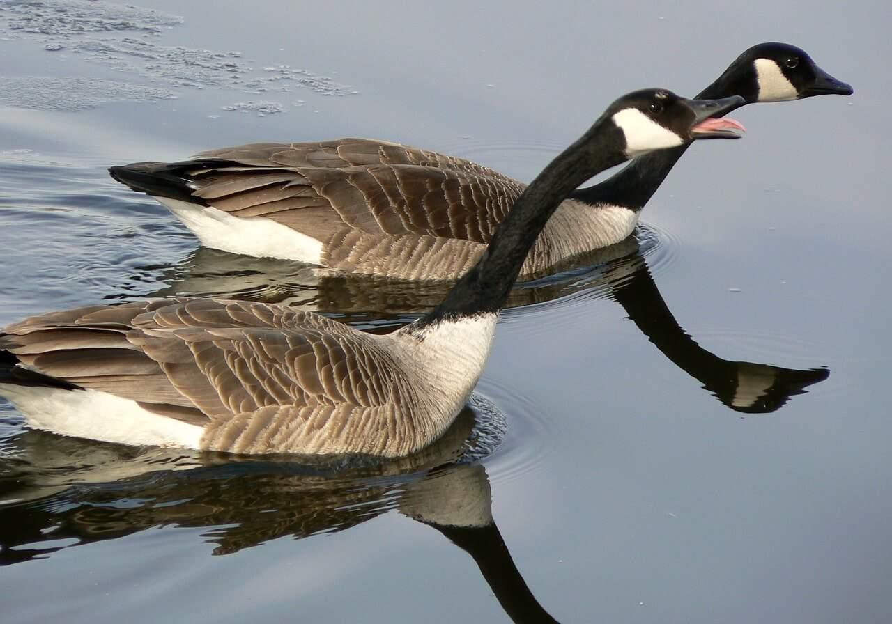 natural canada goose repellent
