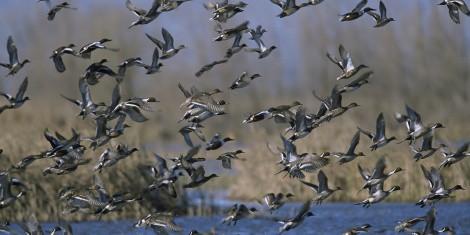 avian migrate