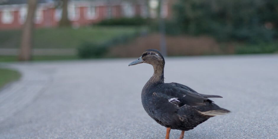 duck in parking lot