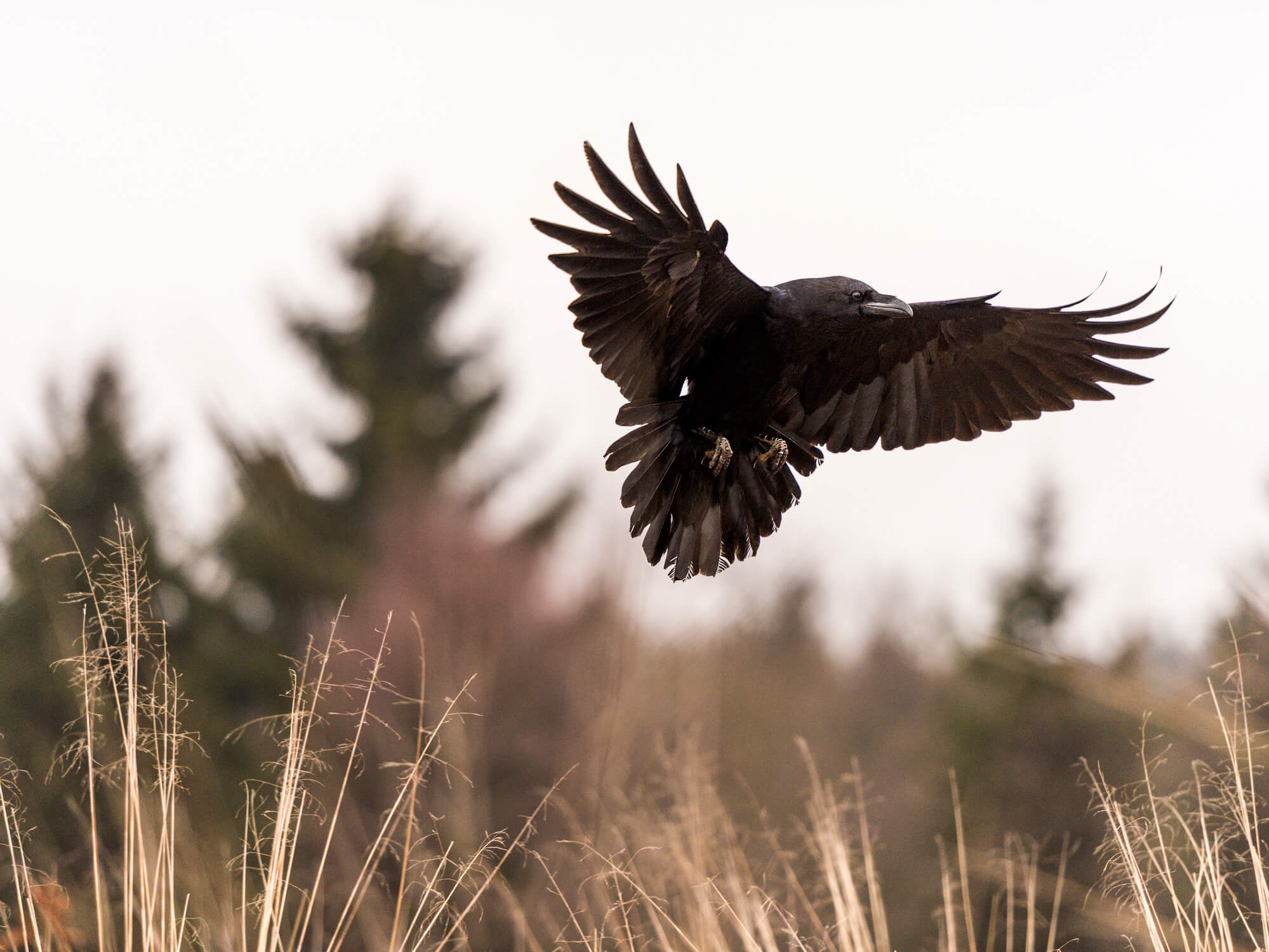 Best Ways To Deal With Ravens | Bird
