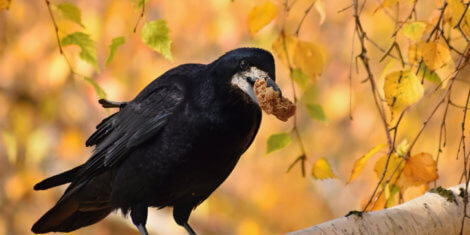 crow on tree branch during fall