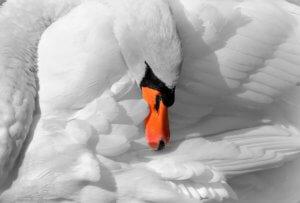 decoy swan