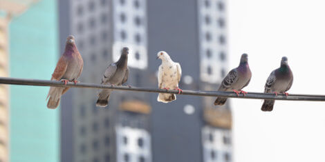 pigeons on a wire