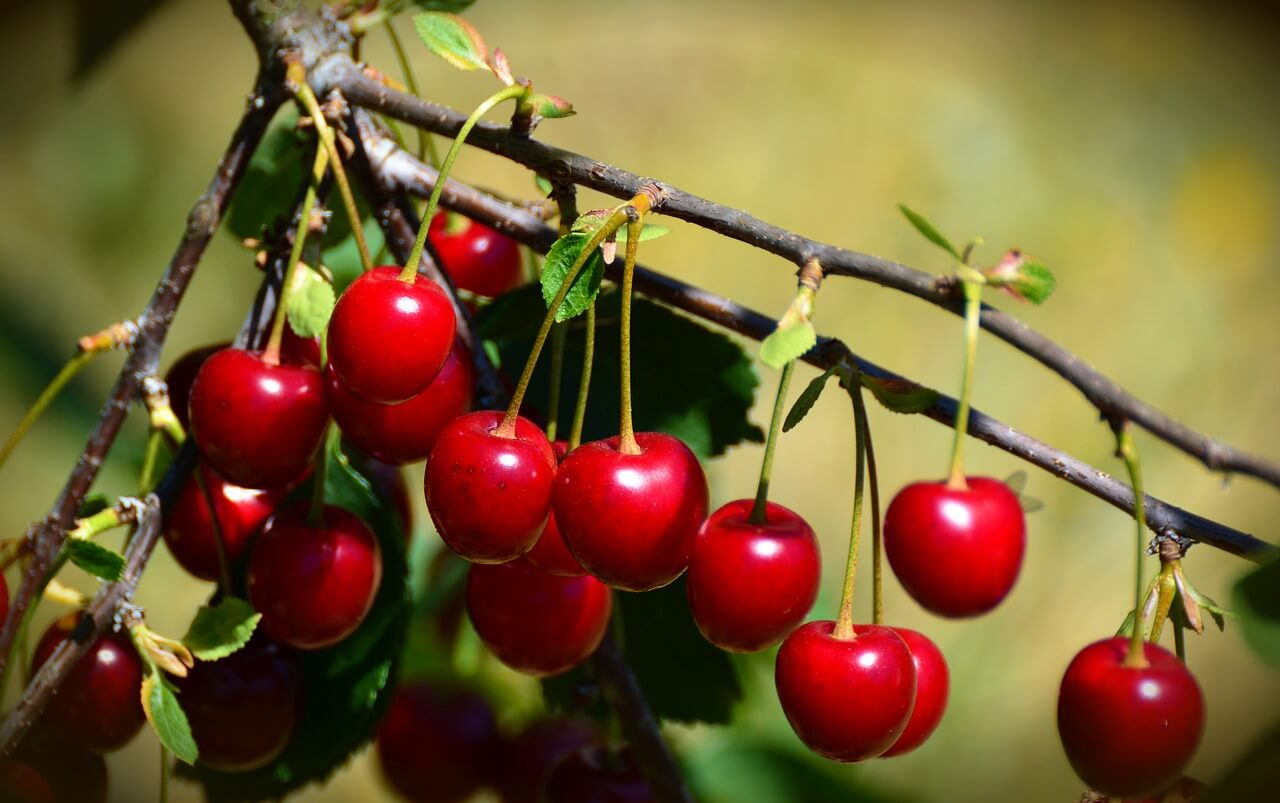 How To Identify A Wild Cherry Tree A Guide From Tcv