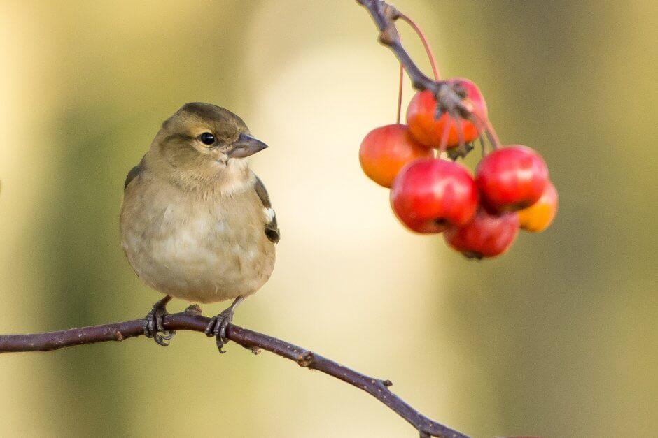 bird and cherry tree