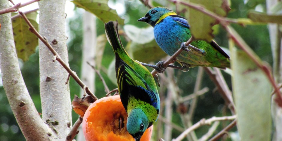 birds eating fruit in a tree without fruit tree netting