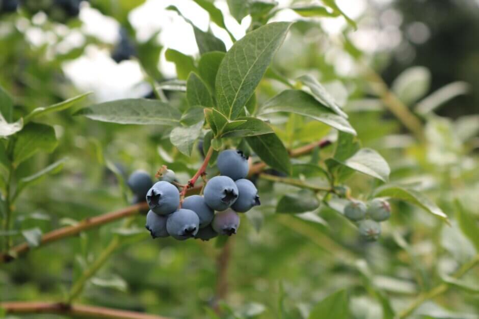 blueberries growing in a bush