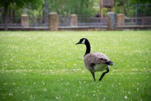 Goose walking in a park