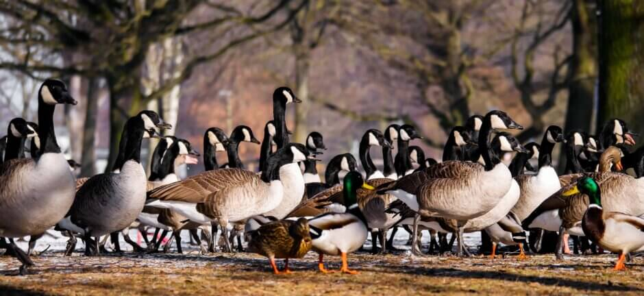 Geese and Ducks in a park