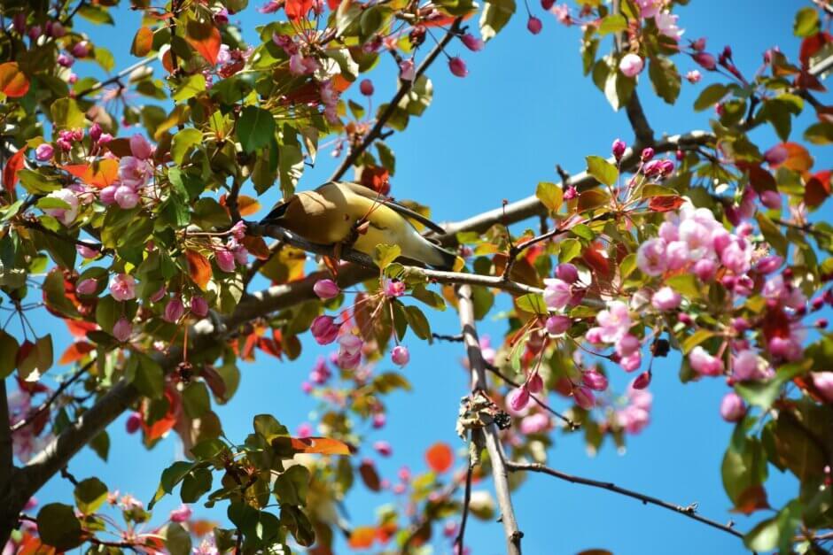 Bird in a cherry tree