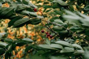 Cherries growing in a tree