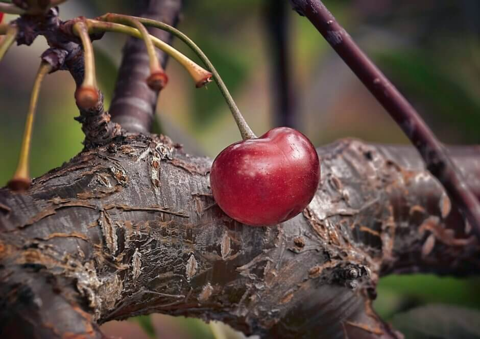 cherry growing on a tree