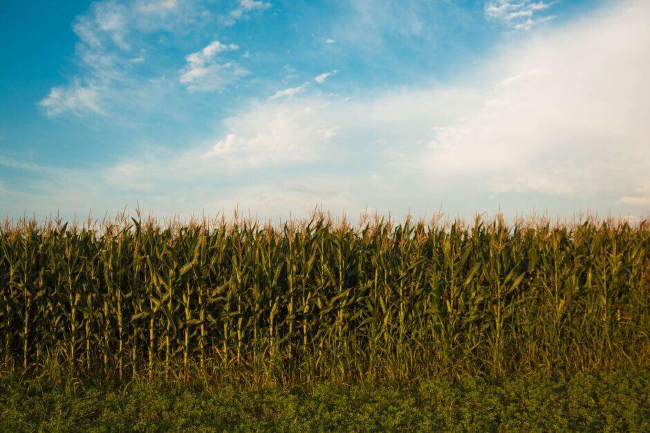 Corn Field free of pests